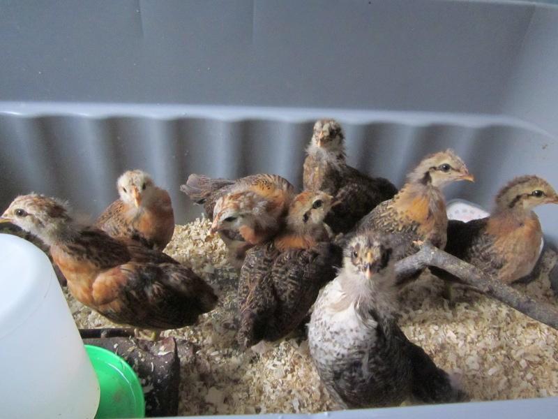 chicks2013_3wks