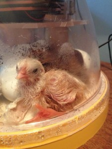 Baby number 3, our 1/4 Leghorn, 1/3 Araucana, 1/2 Rhode Island Red mix.